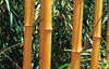 Best Yellow & Green Stemmed Bamboos in 15 Litre Large pots