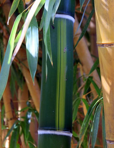 Oriental Green & Yellow Stem Bamboo Trees