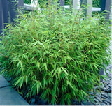 Green Panda Fountain Bamboo Rufa in 15 Litre large pots 6ft plants.