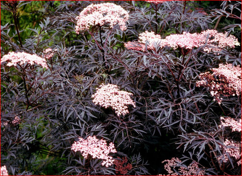 Black Lace Leaf Elder. Large 10 litre pot plants