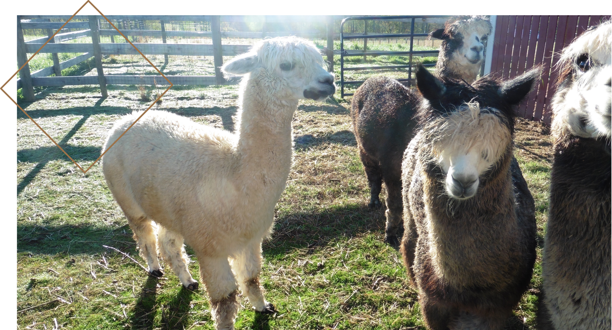 Image of fluffy alpacas in the sunshine