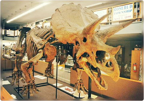 "Large Triceratops Skeleton - ""Bob"
