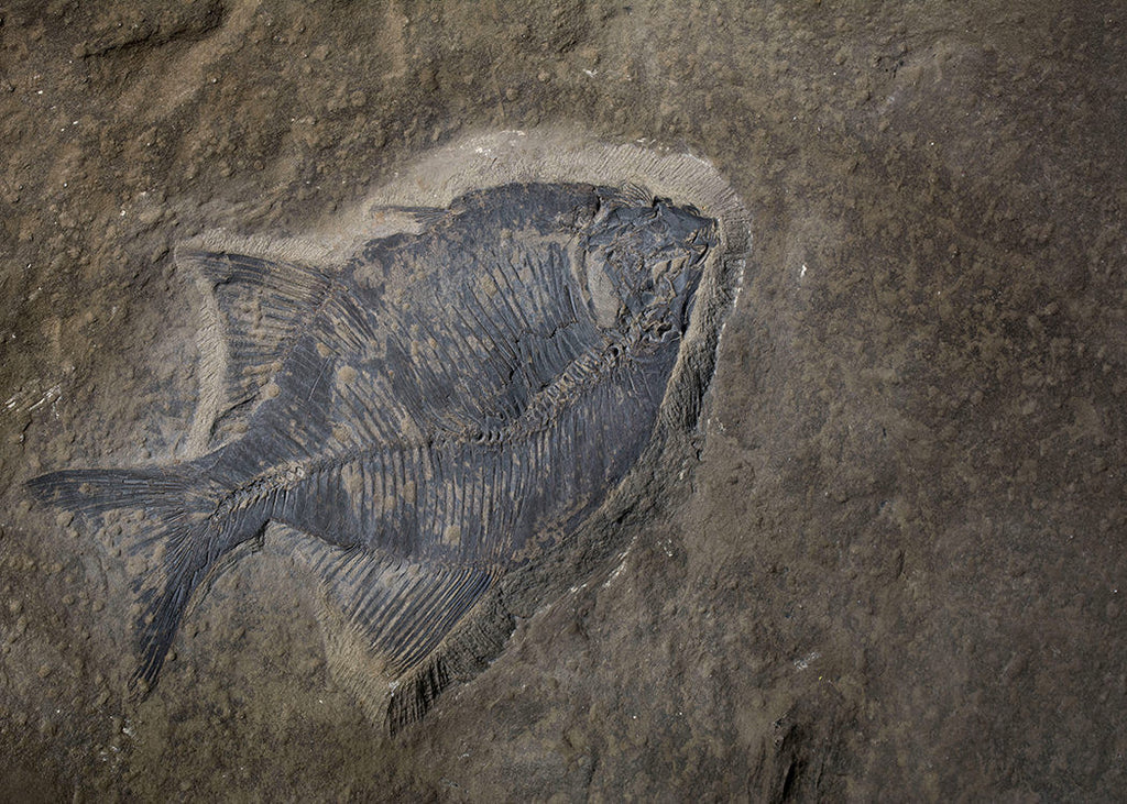 Fossil fish found while excavating a basement in the Evanston area of Calgary, Alberta.