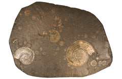pyritized ammonite for sale