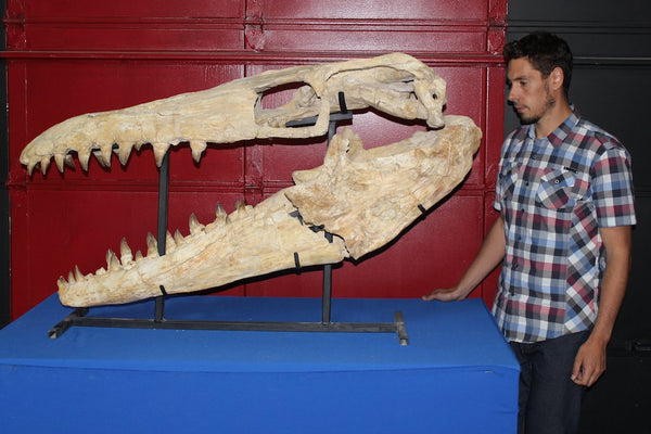 Fossil Realm | Peter Lovisek with Giant Mosasaur Skull For Sale