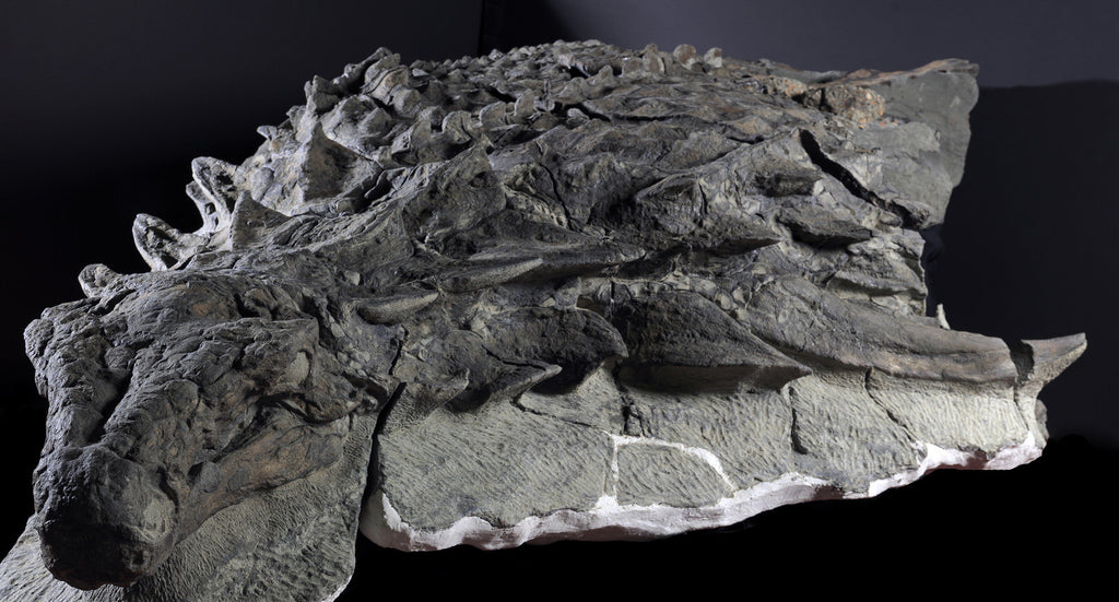 Nodosaur Fossil - Grounds for Disovery Exhibit. Image courtesy of the Royal Tyrrell Museum, Drumheller, Alberta.