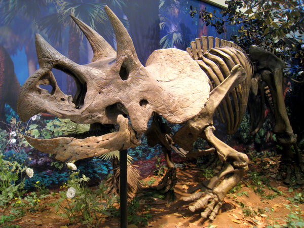 Triceratops skeleton fossil - Carnegie Museum of Natural History, Pittsburgh, Pennsylvania, USA.