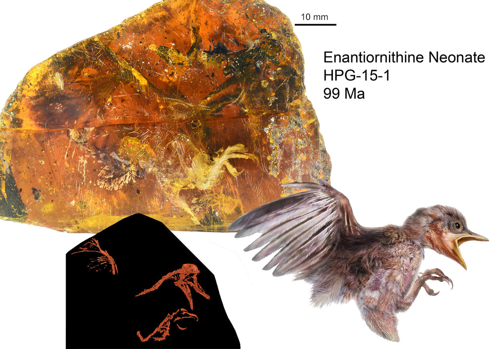 Graphical abstract for Gondwana Research, highlighting connection between specimen in amber, x-ray micro-CT data, and the whole-body artist's reconstruction. Credit: Jingmai O'Connor, Chinese Academy of Sciences (CAS, IVPP), with components from Chung-Tat Cheung and Ming Bai.