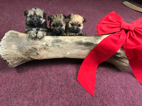 Puppies with woolly mammoth tibia fossil - Wishing you a happy holidays!