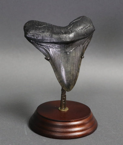 Complete Megalodon Tooth - 4.71 inches