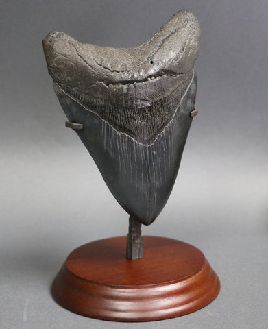 Superb Megalodon Shark Tooth - 6.0 inches