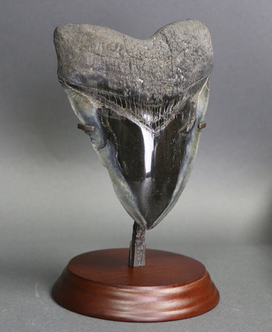 Giant Polished Megalodon Shark Tooth - 6.13""