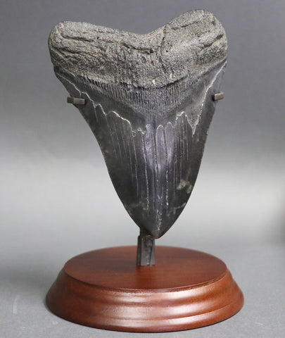 Huge Megalodon Shark Tooth - 5.67 inches