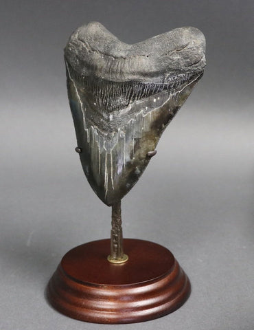Complete Megalodon Tooth - 5.27 inches