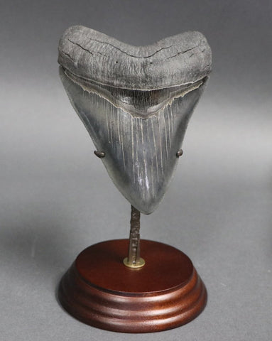 Impeccable Megalodon Tooth - 5.14 inches