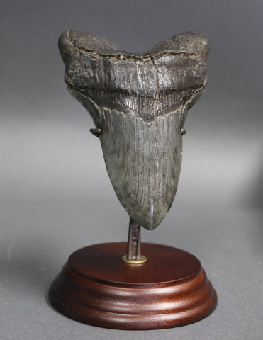 Distinctive Megalodon Shark Tooth - 5.16 inches