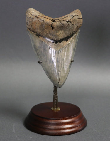 Complete Megalodon Shark Tooth - 5.05 inches