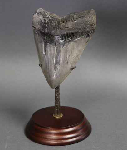 Great Megalodon Tooth - 5.0 inches