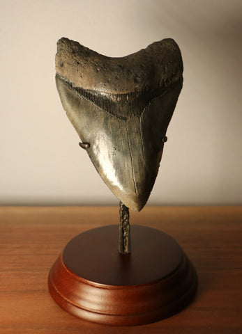 Megalodon Shark Tooth - 4.87 inches