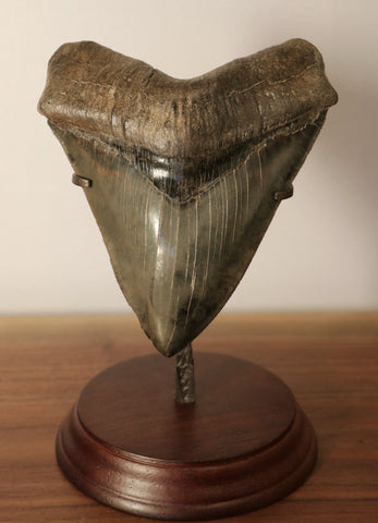 Huge Museum Grade Megalodon Tooth - 5.95 inches