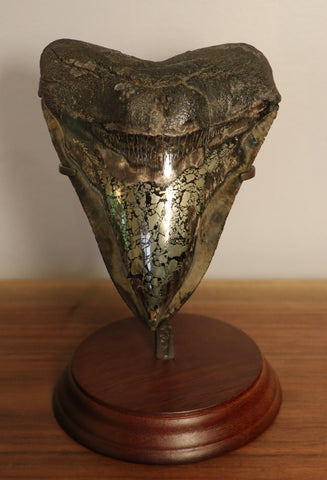 Megalodon Tooth, Pyrite Inlay - 5.98""