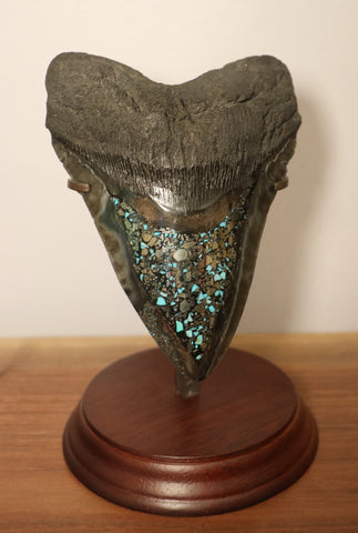 Huge Meg Tooth with Pyrite/Turquoise Inlay - 5.89 inches