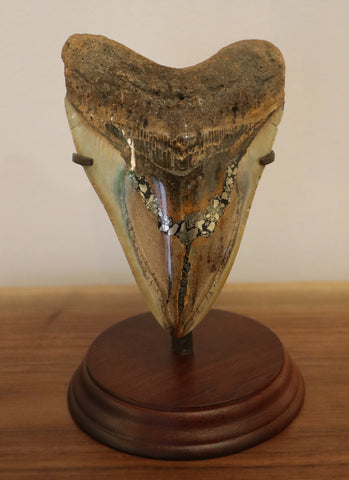 Huge Megalodon Tooth with Pyrite Inlay - 5.82 inches