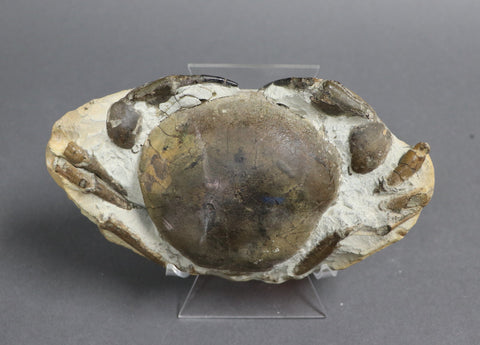 Crustaceans and Other Fossils for Sale – Fossil Realm