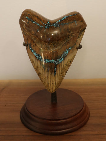 Huge Meg Tooth with Pyrite/Turquoise Inlay - 5.62 inches