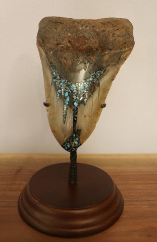 Huge Meg Tooth, Pyrite/Turquoise - 5.58 inches