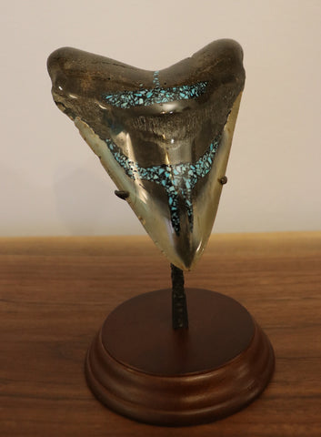 Huge Meg Tooth, Pyrite/Turquoise - 5.43 inches