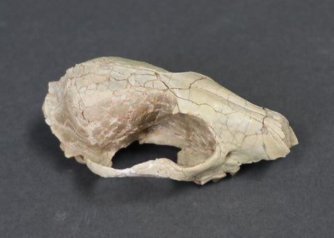 Oligocene Fox Skull, Hesperocyon - 3.6 inches