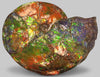 Huge Iridescent Canadian Ammonite (Ammolite), 20.5""