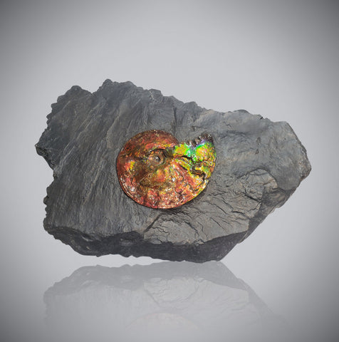 Iridescent Ammonite (Ammolite) in Matrix, 8.0""