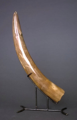 Mammoth Tusk from Siberia -  13.5 inches