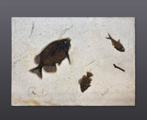 "Fossil Fish Mural with Phareodus - 31"" x 22"" Matrix"
