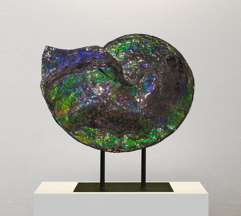 Bright Blue-Green Iridescent Canadian Ammonite (Ammolite), 14.5""