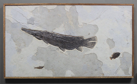 Fish Fossil For Sale: Magnificent Fossil Gar Fish from Green River Formation, Wyoming - 2.9 feet