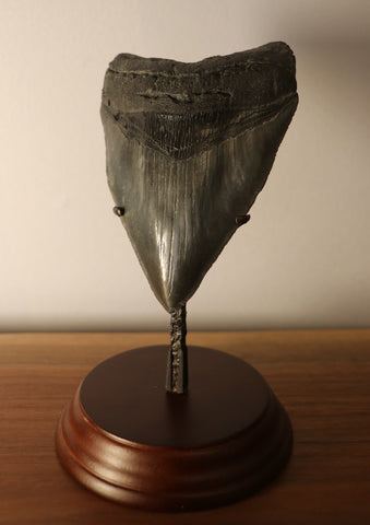 Megalodon Shark Tooth - 4.78 inches
