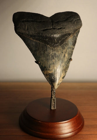 Large Megalodon Shark Tooth - 5.10 inches