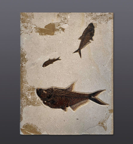 Fossil Fish Mural with Diplomystus