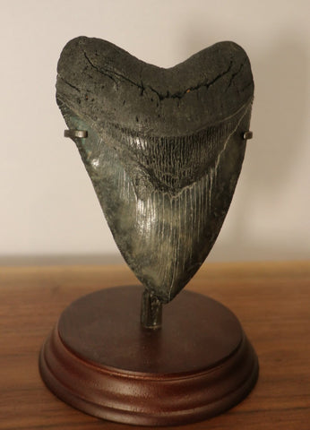 Large Megalodon Shark Tooth - 5.35 inches