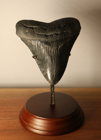 Megalodon Shark Tooth - 4.39 inches