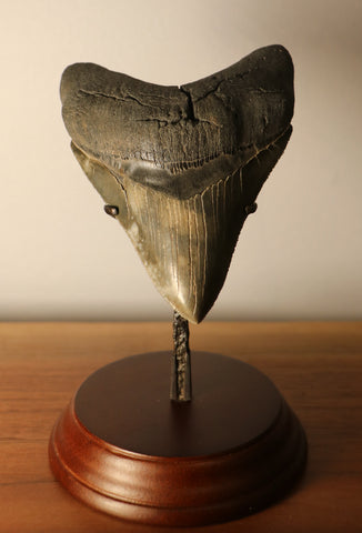 Megalodon Shark Tooth - 4.54 inches