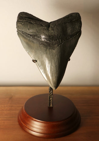 Large Megalodon Shark Tooth - 5.15 inches