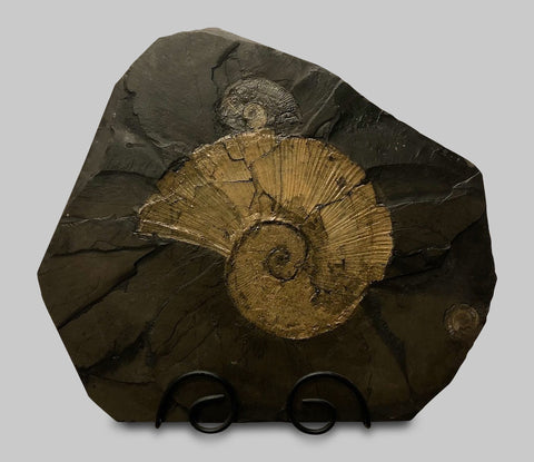 LIXUAN 1 PC Natural Ammonite Fossil Specimen Collection Fossil 3