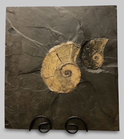 "Pyritized Lytoceras Ammonites - 27"" Matrix"