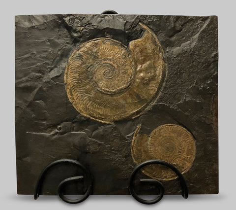 "Pyritized Harpoceras Ammonites - 16.5"" Matrix"