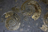 Ammonite Fossils for Sale: Pyritized Ammonites - Holzmaden Shale, 3.54 feet, Closeup