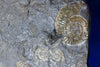 Ammonite Fossils for Sale: Pyritized Ammonites - Holzmaden Shale, 3.54 feet - Closeup